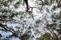 Branch of trees full of Bats sleeping upside down in evergreen forest at Sydney Centennial Park.