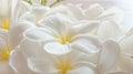 Branch of tropical flowers frangipani plumeria Stock Image