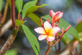 Branch of tropical flowers frangipani plumeria thailand Royalty Free Stock Photo