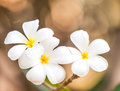 Branch of tropical flowers frangipani plumeria thailand Stock Photo