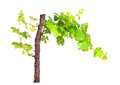 Branch of vine leaves isolated on white background Royalty Free Stock Photo