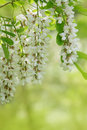 Branch of white acacia flowers on green background Stock Image