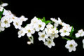 Branch of white flowers on black background and green leaves Stock Images