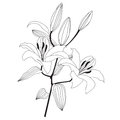 Branch of white lily Royalty Free Stock Photo