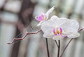 Branch of white orchid Stock Photos