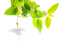Branch white tenderness fuchsia on white background Royalty Free Stock Photography