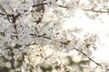 Branch of white wild Himalayan cherry blossom, Sakura tree