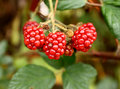 Branch of wild blackberry Royalty Free Stock Photo