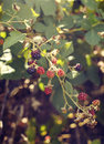 Branch of wild blackberry with ripe fruits Royalty Free Stock Photo