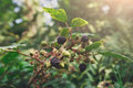 Branch of wild blackberry with ripe fruits close-up in the forest Royalty Free Stock Photo