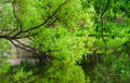 Branch of a willow bent over the water surface of the pond Royalty Free Stock Photo