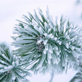Branch of a winter pine tree Stock Photos
