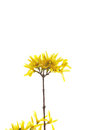 Branch of yellow flowers on white background Stock Photo