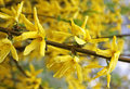 Branch of yellow forsythia shrub close up Stock Image