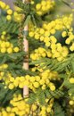 Mimosa in bloom Royalty Free Stock Photo
