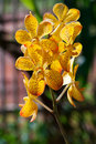 Branch yellow orchid Royalty Free Stock Images