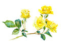 Branch of yellow rose Royalty Free Stock Photo