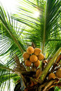 Branch of young coconuts on coconut tree Stock Photo