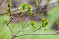 Branch with young green leaves in early spring Stock Image