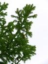 Branchements de fourrure-arbre d'arbre Image libre de droits