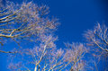 Branches against the blue sky. Royalty Free Stock Photo