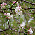 Branches of apple tree with flowers and buds in spring Royalty Free Stock Photo