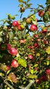 Branches of an apple-tree with ripe red apples Royalty Free Stock Photo