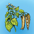 Branches beans. Vector drawing