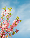 Branches with beautiful pink flowers against the blue sky amygdalus triloba Stock Photography