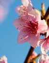 Branches with beautiful pink flowers peach against the blue sky selective focus blossom in sunny day Stock Photos