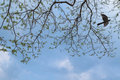 Branches of big rain tree against blue sky with female asian koe koel cuckoo bird flying around in thailand Stock Photo