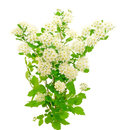 Branches of bird cherry tree prunus padus on a white background Royalty Free Stock Image