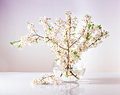 Branches of a blossoming apple tree in a glass vase with water Royalty Free Stock Photo