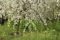 Branches of the blossoming cherry tree in spring garden Stock Image