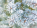 Branches of blue spruce Stock Images