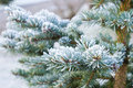 Branches of blue spruce is covered with frost Stock Images