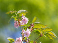 Branches of cherry in the foreground blossoms spring Stock Image