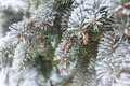 Branches With Cones Covered Wi...