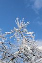 Branches covered with ice in sunlight blue sky after storm vertical toronto ontario canada Stock Images