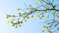Branches of dogwood cornus florida and blue sky Stock Photos
