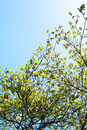 Branches of dogwood (Cornus florida) and blue sky Royalty Free Stock Photo