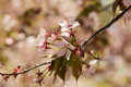 Branches of the fading oriental cherry sakura with pink flowers Stock Photography