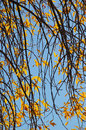 Branches and golden leaves of an autumn tree Royalty Free Stock Photo