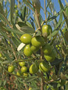 Branches with green olives Stock Photos