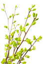 Branches with green spring leaves Stock Image