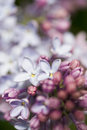 Branches of lilac blooming in may in russian park Stock Photo