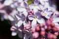 Branches of lilac blooming in may in russian park Stock Photos