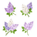 Branches of lilac flowers. Vector illustration. Royalty Free Stock Photo