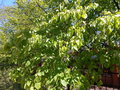 Branches of linden tree with green young leaves of spring blossoming Royalty Free Stock Photo