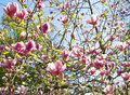 Branches of magnolia tree with pink flowers on blue sky Royalty Free Stock Photos